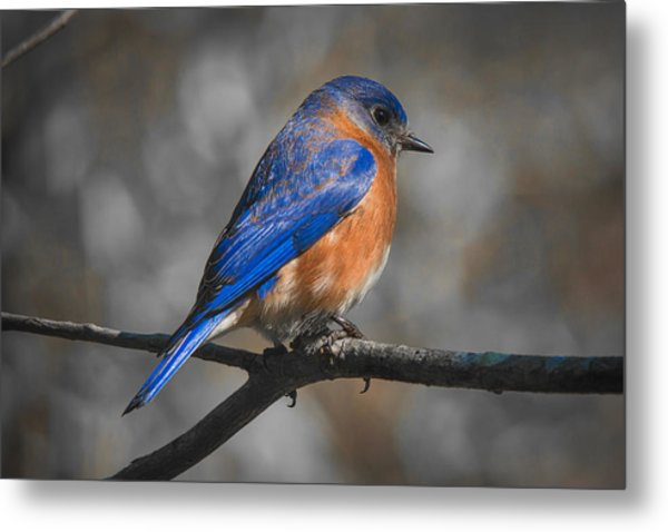 Metal Print featuring the photograph Male Eastern Bluebird by Robert L Jackson