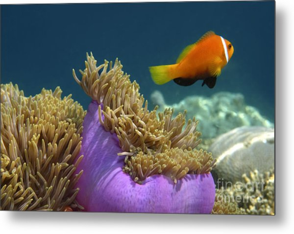 Metal Print featuring the photograph Maledives Clown Fish by Juergen Held