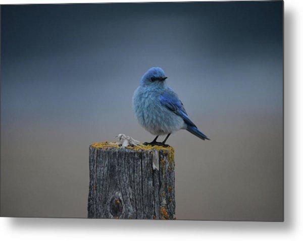 Mountain Bluebird 2 Metal Print