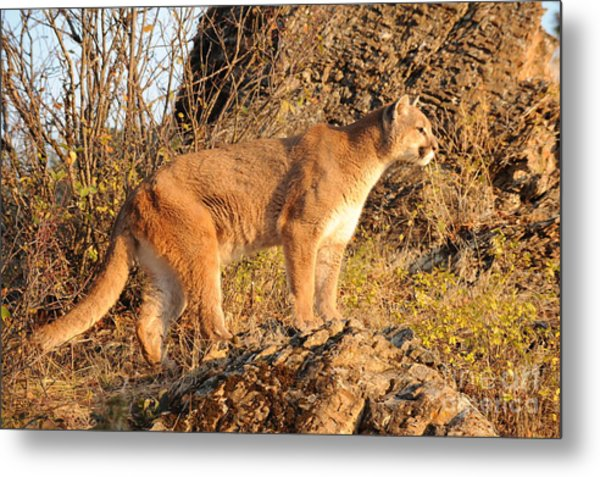 Mountain Lion Metal Print by Dennis Hammer