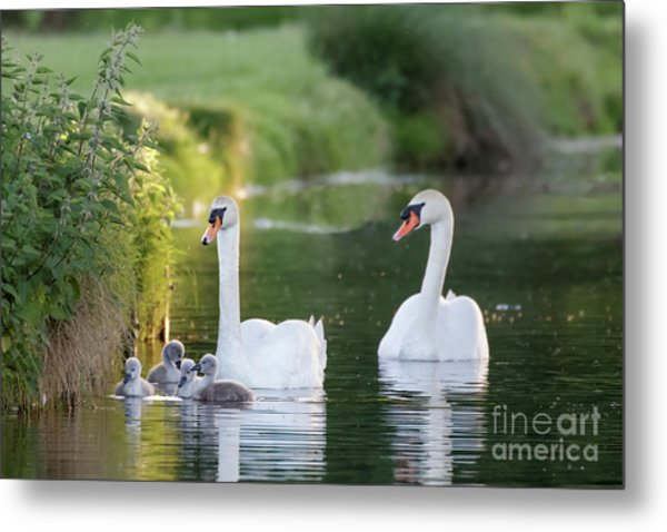 Mute Swan - Cygnus Olor - Adult And Cute Fluffy Baby Cygnets, Swim Metal Print by Paul Farnfield