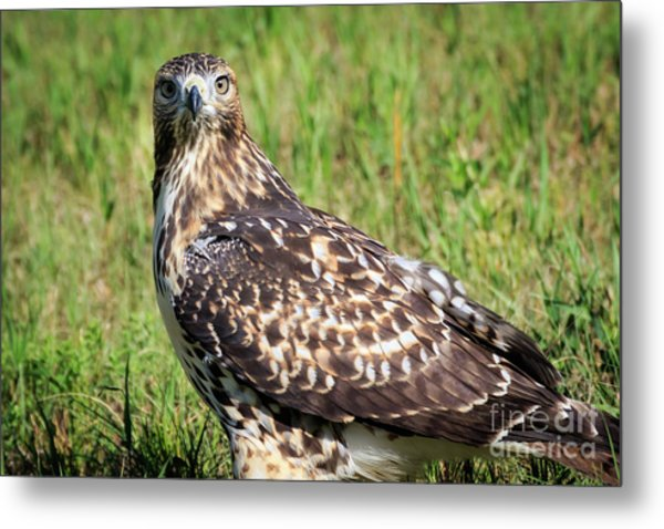 Red-tail Portrait Metal Print