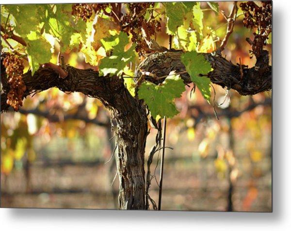 Red Wine Vine Metal Print
