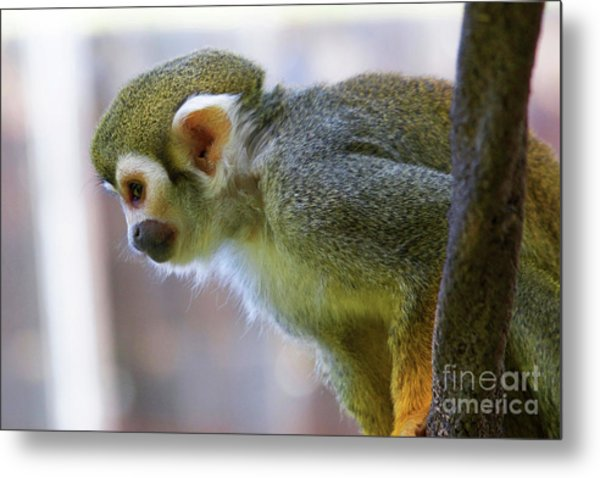 Squirrel Monkey Metal Print