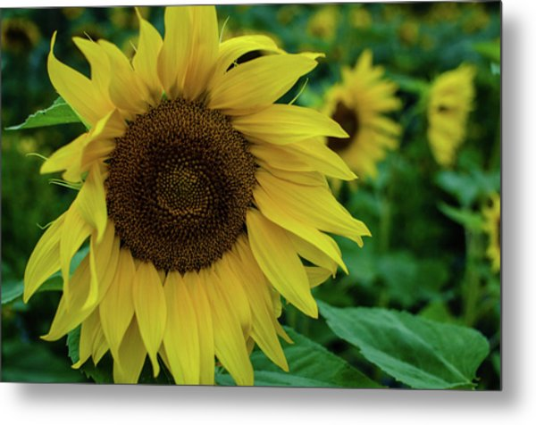 Sunflower Fields Metal Print