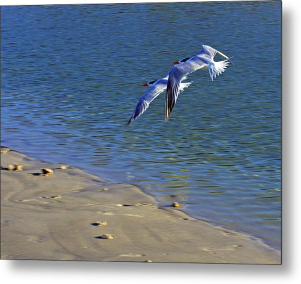 2 Terns In Flight Metal Print