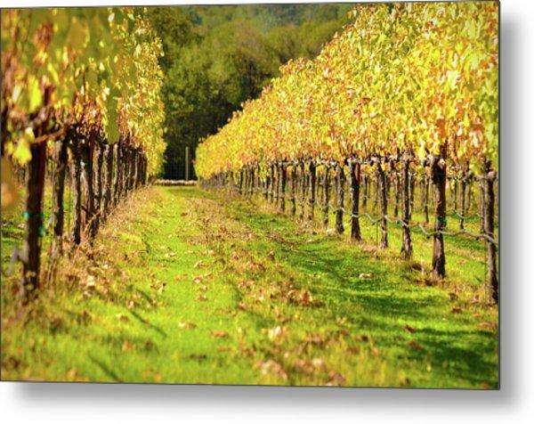 Vineyard In The Fall Metal Print
