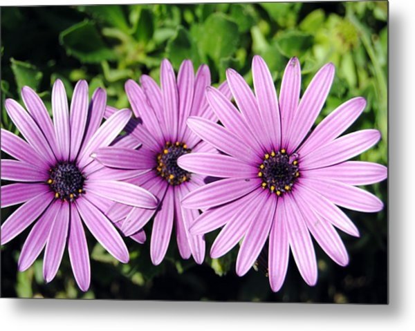 The African Daisy 2 Metal Print