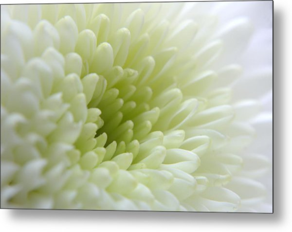 White Chrysanthemum Metal Print