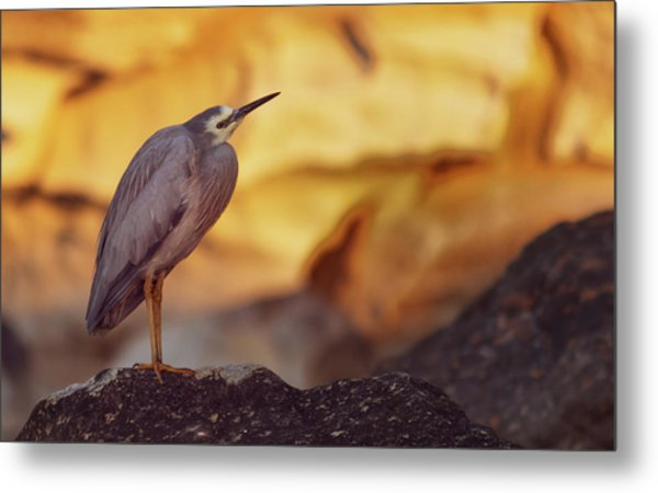 White-faced Heron At The Beach Metal Print