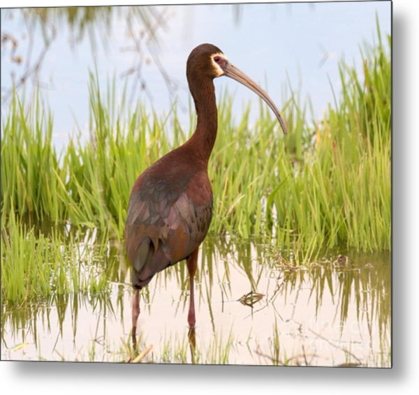 White Faced Ibis Metal Print by Dennis Hammer
