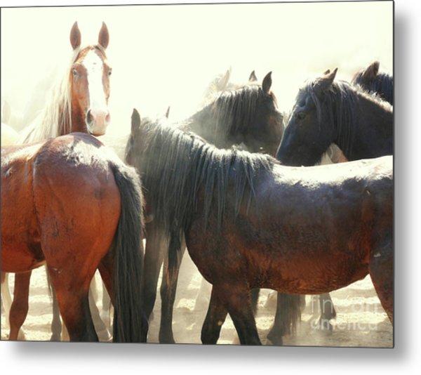Wild Horses - Australian Brumbies 3 Metal Print