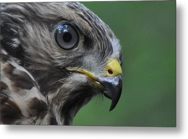 Young Red-shouldered Hawk Metal Print by Monteen  McCord