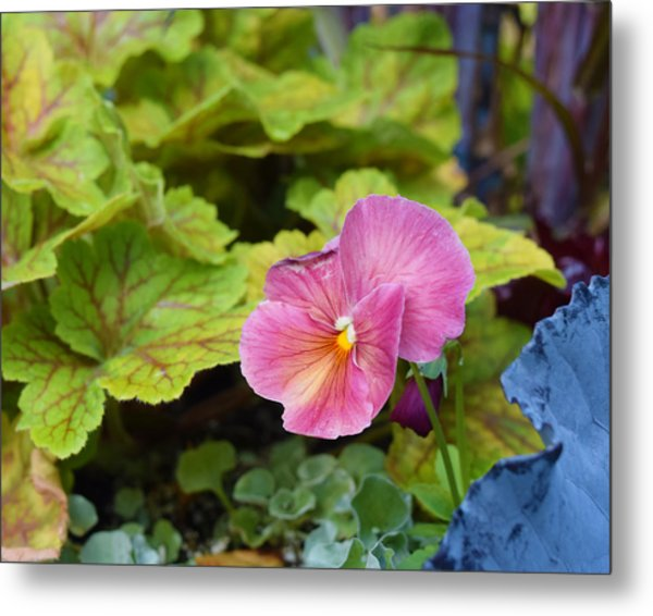 2015 After The Frost At The Garden Pansies 3 Metal Print