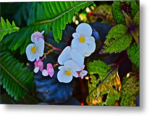 2015 Early September At The Garden Begonias Metal Print