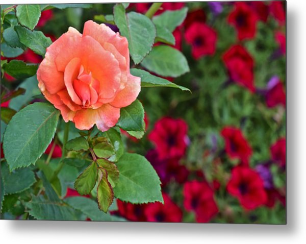 2015 Fall Equinox At The Garden Sunset Rose And Petunias Metal Print