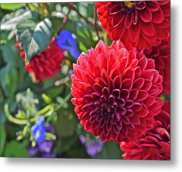 2015 Mid September At The Garden Dahlias 2 Metal Print