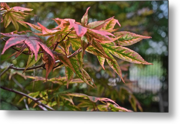 2015 Mid-september At The Garden Japanese Maple 1 Metal Print