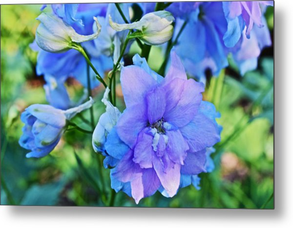 2015 Mid September At The Garden Larkspur 2 Metal Print