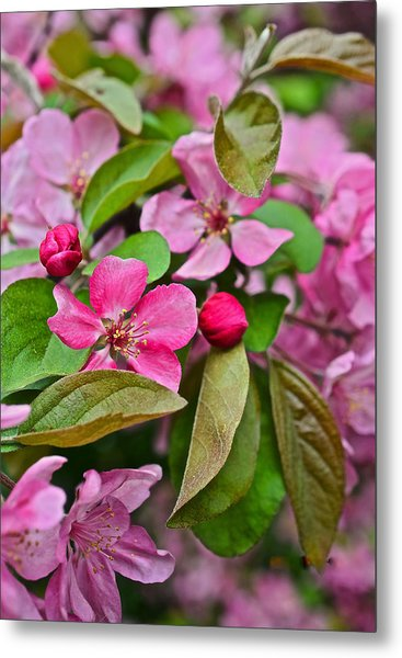 2015 Spring At The Gardens Pink Crabapple Blossoms 2 Metal Print