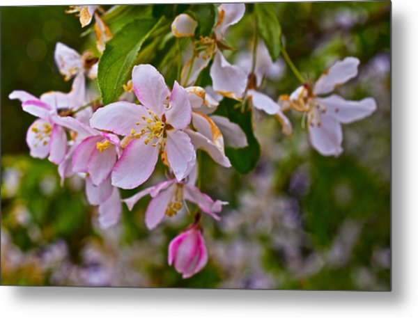 2015 Spring At The Gardens White Crabapple Blossoms 1 Metal Print