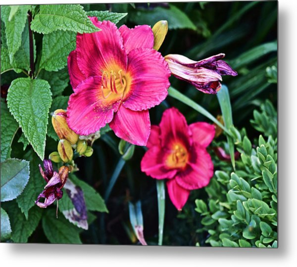 2015 Summer At The Garden Strawberry Candy Daylily 2 Metal Print