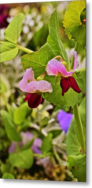 2015 Summer's Eve At The Garden Sweet Pea 2 Metal Print