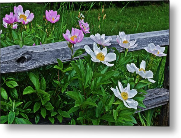 2015 Summer's Eve Neighborhood Garden Front Yard Peonies 2 Metal Print