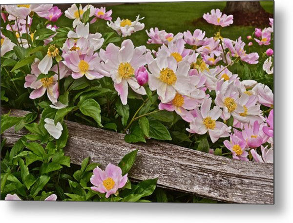 2015 Summer's Eve Neighborhood Garden Front Yard Peonies 3 Metal Print