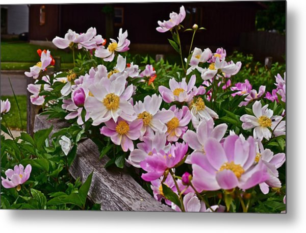 2015 Summer's Eve Neighborhood Garden Front Yard Peonies 4 Metal Print