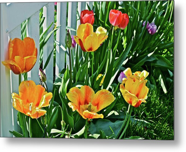 Metal Print featuring the photograph 2018 Acewood Tulips Against The White Fence 1 by Janis Nussbaum Senungetuk