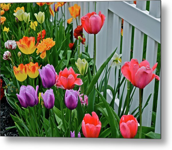 Metal Print featuring the photograph 2018 Acewood Tulips Against The White Fence 2 by Janis Nussbaum Senungetuk