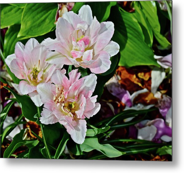 Metal Print featuring the photograph 2018 Vernon Tulips 1 by Janis Nussbaum Senungetuk