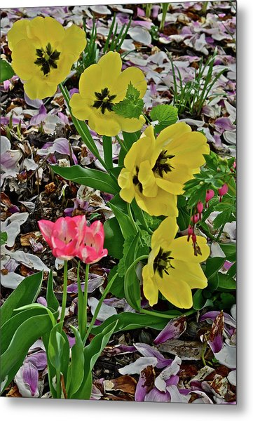 Metal Print featuring the photograph 2018 Vernon Tulips 2 by Janis Nussbaum Senungetuk