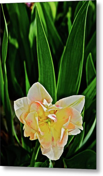 Metal Print featuring the photograph 2018 Vernon Tulips 4 by Janis Nussbaum Senungetuk