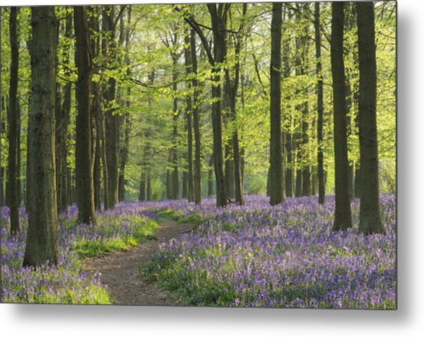 Bluebell Wood Metal Print by Liz Pinchen