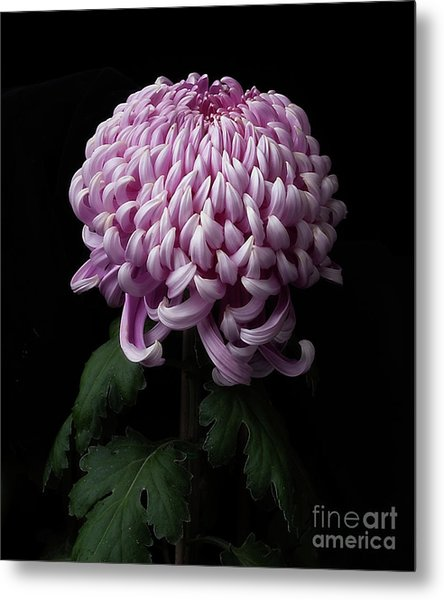 Chrysanthemum 'jefferson Park' Metal Print