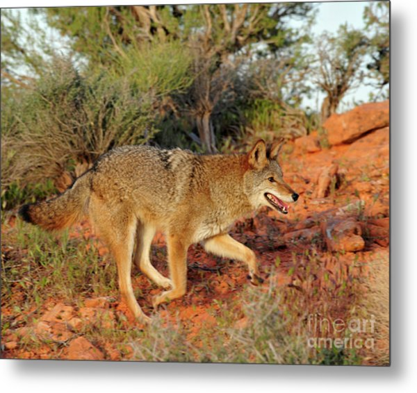 Coyote Metal Print by Dennis Hammer