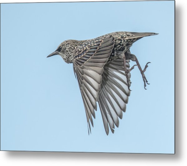 European Starling Metal Print