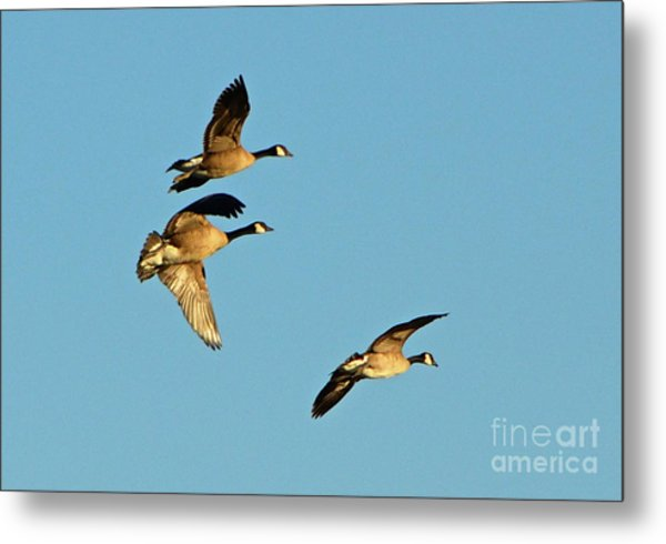 3 Geese In Flight Metal Print
