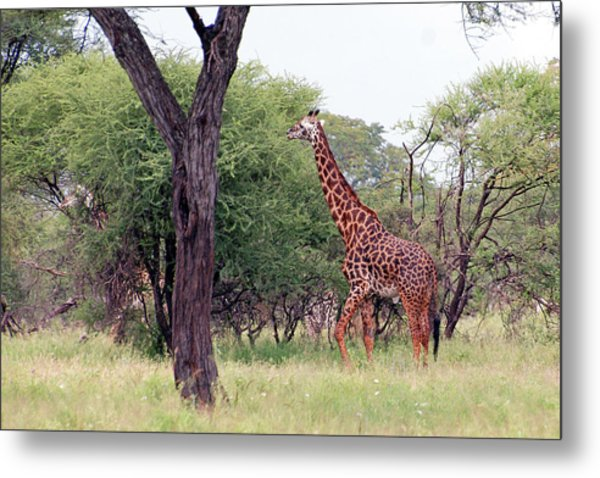 Giraffes Eating Acacia Trees Metal Print