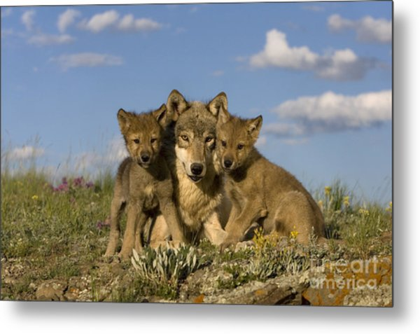 Gray Wolf And Cubs Metal Print