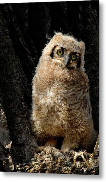 Great Horned Owlet Metal Print