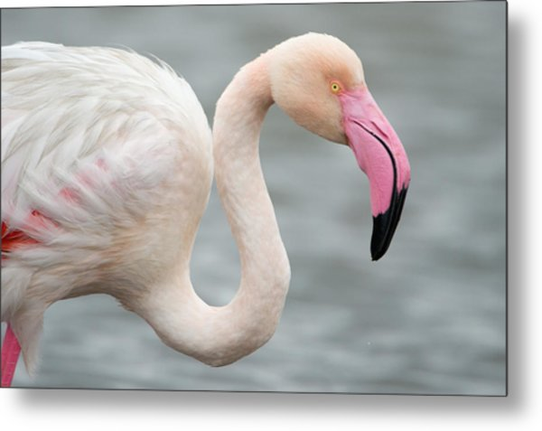 Greater Flamingo Phoenicopterus Roseus Metal Print