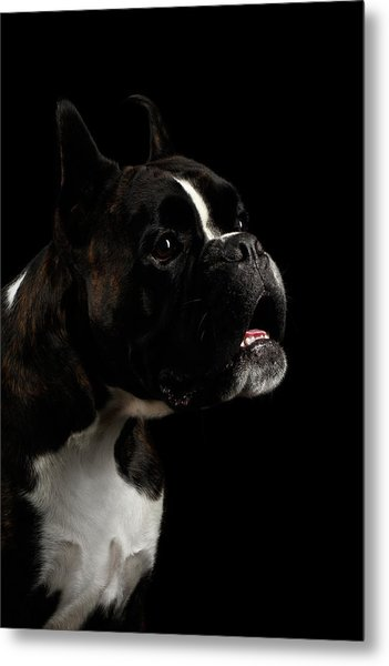 Purebred Boxer Dog Isolated On Black Background Metal Print