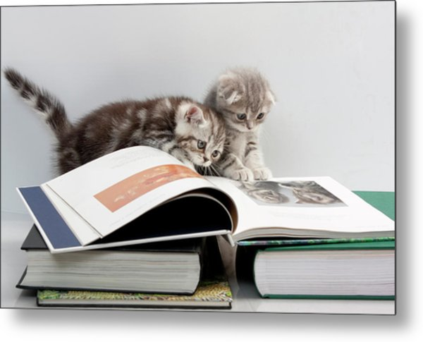 Scottish Fold Cats Metal Print