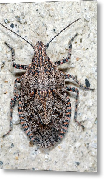 Stink Bug Metal Print