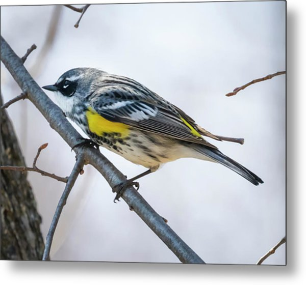 Metal Print featuring the photograph Yellow-rumped Warbler  by Ricky L Jones