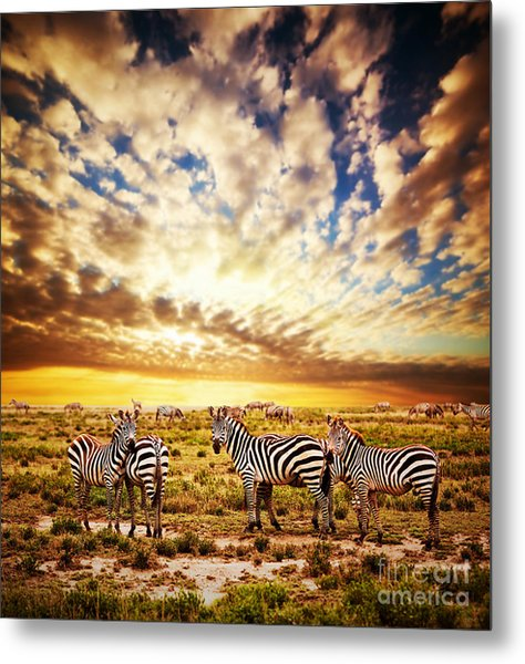 Zebras Herd On African Savanna At Sunset. Metal Print