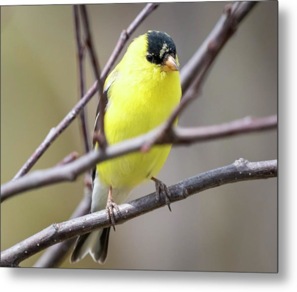 Metal Print featuring the photograph American Goldfinch  by Ricky L Jones